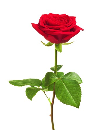single red rose flower, isolated on white background