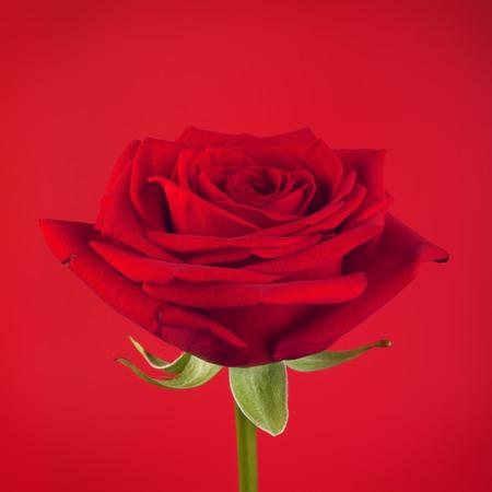 single mother: single red rose flower, on crimson background Stock Photo