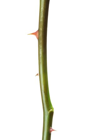 rose stem with thorns, isolated on white background