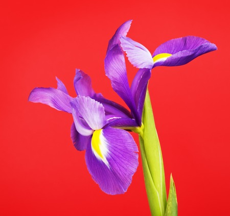 blueflag: beautiful purple flower iris, on red background Stock Photo