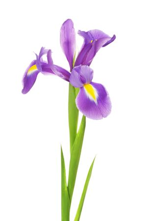 blueflag: beautiful purple flower iris, isolated on white