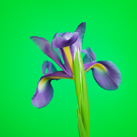 blueflag: beautiful purple flower iris, on green background