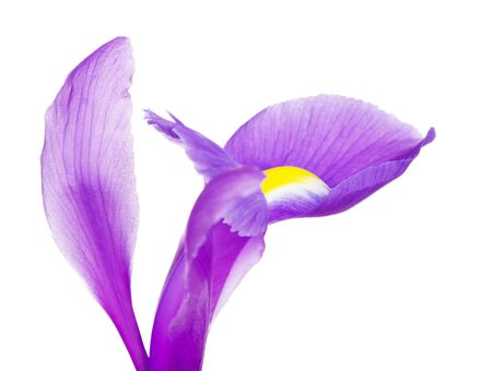 blueflag: beautiful purple flower iris petals, close up, isolated on white