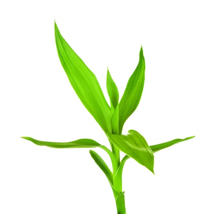 fengshui: fresh green bamboo sprout, isolated on white background
