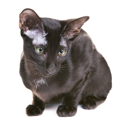 oriental white cat: black oriental shorthair cat, isolated on white background Stock Photo