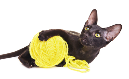 oriental white cat: black oriental shorthair cat playing with woolen ball, isolated on white