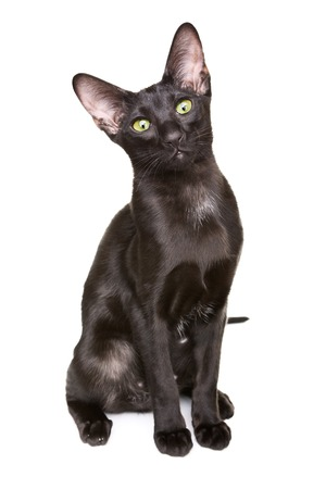 cat isolated: black oriental shorthair cat portrait, isolated on white background