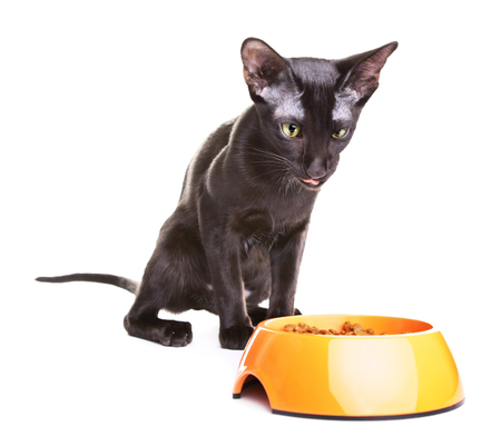 oriental white cat: crazy black oriental shorthair cat eats dry pet food, isolated on white Stock Photo
