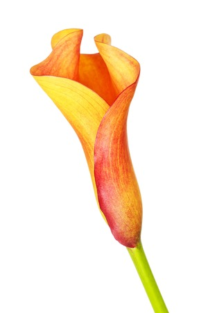 flor de lis: cala anaranjado del lirio zantedeschia, aislado en blanco Foto de archivo