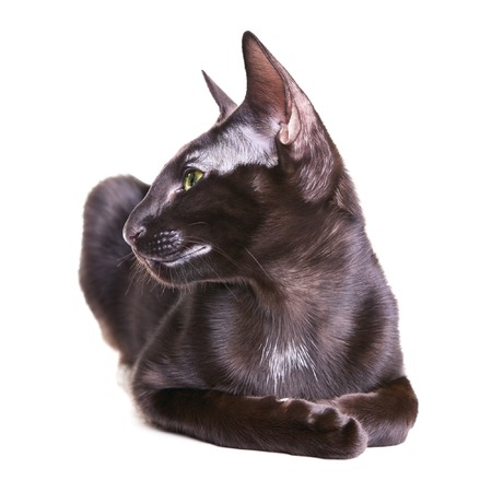 oriental white cat: black oriental shorthair cat portrait, isolated on white background