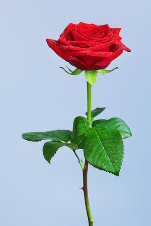 single red rose flower, on blue background