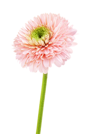 pink gerbera daisy flower, isolated on white background Stok Fotoğraf