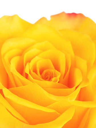 single yellow rose flower background, close up