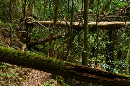 View of a trail in extricate rain forest (Australia)