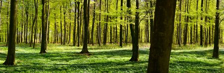 panoramic: Panoramic view of a green forest at spring time