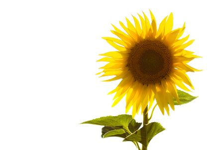 Isolated sunflower on white, backlit by the sun. Stock Photo
