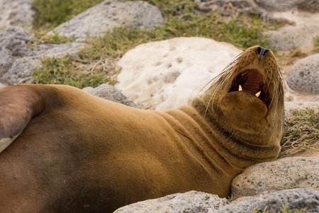 Galapagos sea lion sleeping with open mouth (Zalophus wollebaeki, South Plaza Island, Galapagos, Ecuador) Stock Photo
