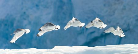 flapping: Seagull flying over snow.  Horizontally framed shot.