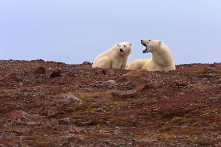Two polar bears on rocky hill.  Horizontally framed shot. Stock Photo