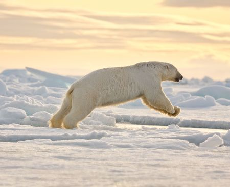 arctic: Polar bear leaping in the snow.  Horizontally framed shot.