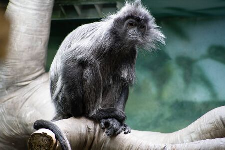 A langur monkey looking at the camera while sitting on a branch. High quality photo Stock Photo