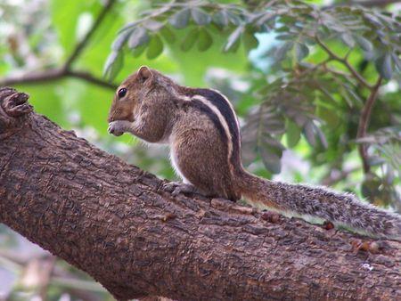 sap: Squirrel eating tree sap