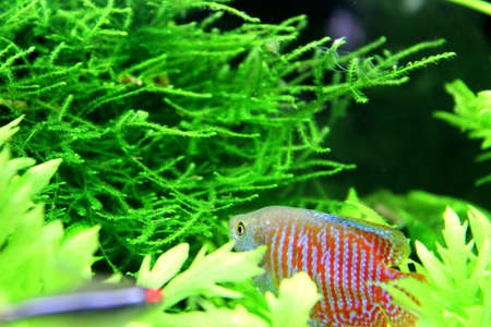Dwarf Gourami photo