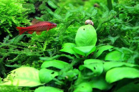 Cherry Barb Stock Photo - 13796432