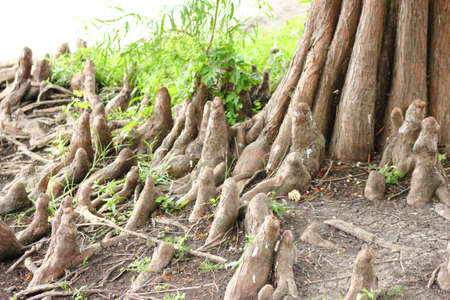 Bald Cypress Tree Roots