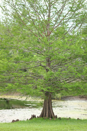 Bald Cypress Tree photo
