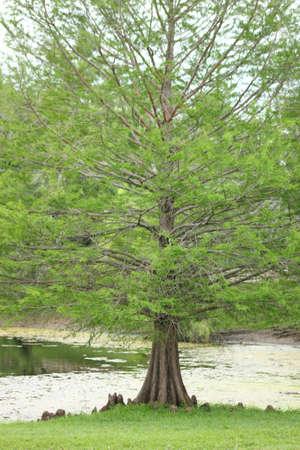 Bald Cypress Tree photo