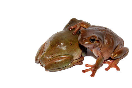 Green and brown Australian dumpy tree frogs sitting on isolated background   photo