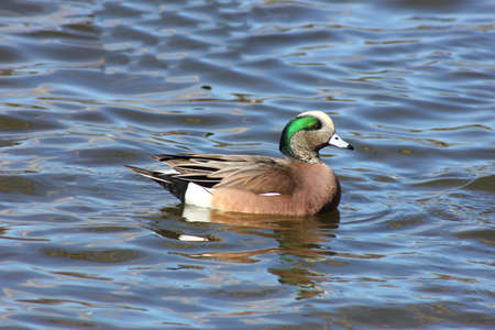 An American wigeon swimming and floating on a lake