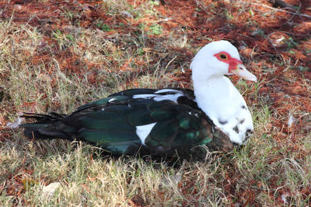 A female muscovy duck laying on the ground