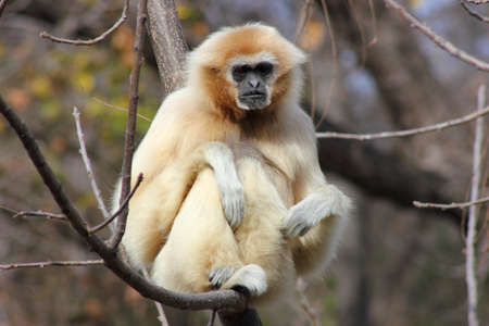 handed gibbon: White handed gibbon sitting on a branch looking at camera Stock Photo