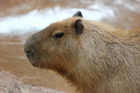 Close up of the worlds largest rodent the capybara walking  photo