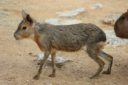 Close up of a Patagonian Cavy walking photo