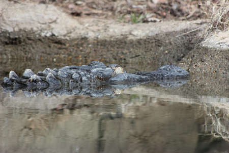 American alligator sleeping in the water barely showing its head photo