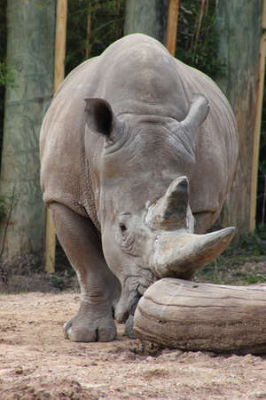 White rhino standing and sniffing a log photo