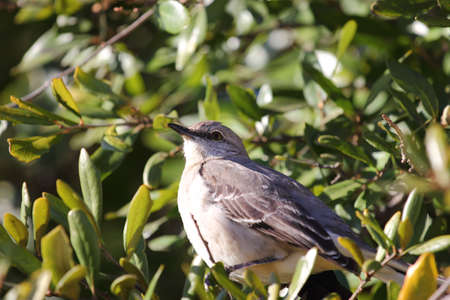 Close up view of a northern mockingbird sitting in a tree photo