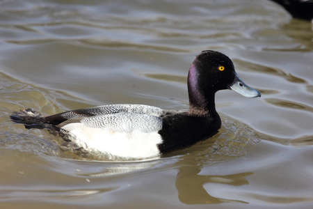 scaup: A lesser scaup swimming in the water