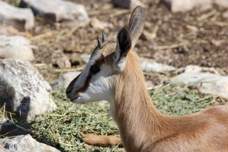 marsupialis: A close up view of a springbok antelope, Antidorcas marsupialis Foal