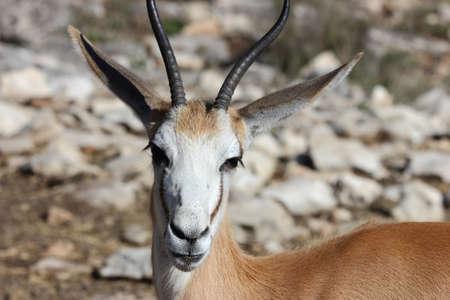 antidorcas: A close up view of a springbok antelope, Antidorcas marsupialis