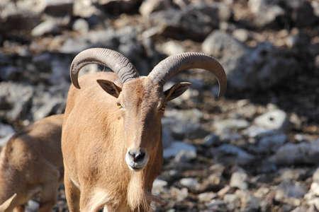Barbary Sheep  Ammotragus lervia , Aoudad looking at the camera