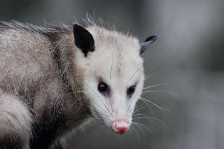opossum: Virginia opossum, Didelphis virginiana, sitting on top of a fence