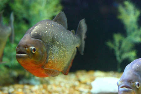 Close up view of a piranha swimming underwater photo