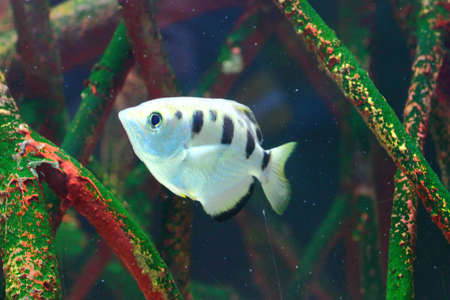 a close up of a fish swimming in a mangrove forest underwater Stock Photo - 17956139