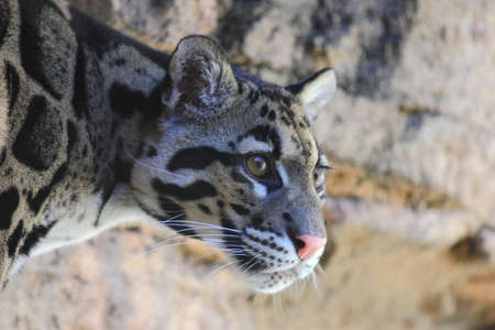 clouded leopard: A close up view of a clouded leopard, Neofelis nebulosa