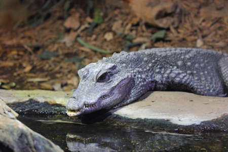 A body view of the American alligator, Alligator mississippiensis, laying on the ground photo