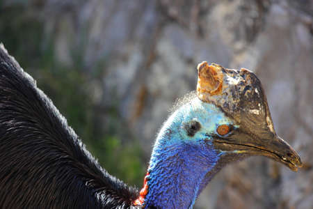 cassowary: The Southern Cassowary  Casuarius casuarius  also known as Double-wattled Cassowary, Australian Cassowary or Two-wattled Cassowary